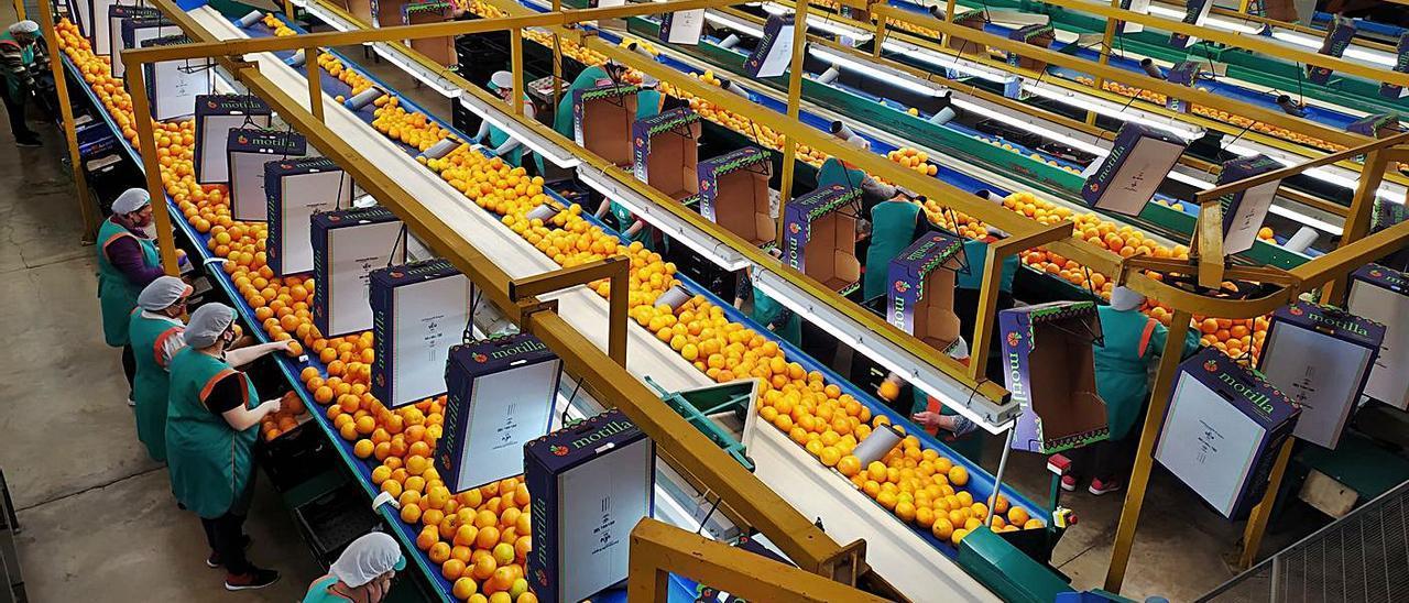 Líneas de confección de Alzicoop con naranjas y envases de Juan Motilla, SL. | L-EMV
