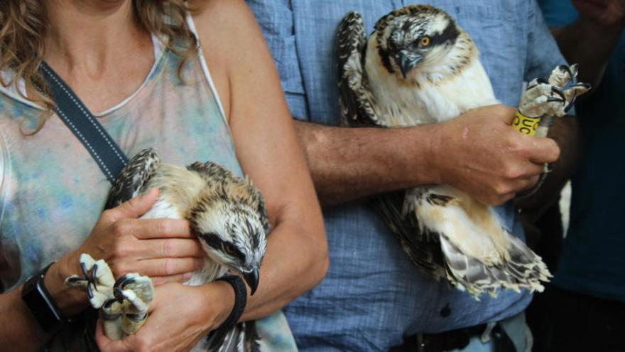 Muere electrocutada una segunda águila pescadora de las cuatro introducidas en la Marjal de Pego