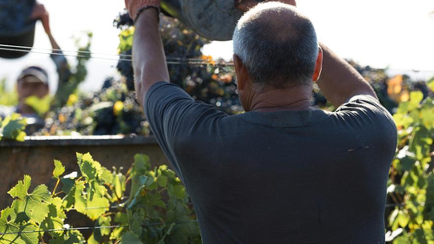 Trabajos de otoño en Pontevedra: Se necesitan vendimiadores/as para incorporarse este viernes 24 de septiembre