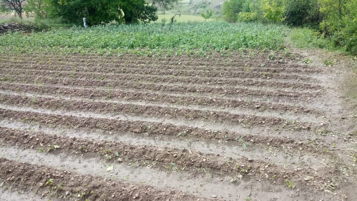 Un campo de cultivo en Cucalón (Teruel) prácticamente pelado por el granizo caído hace unos días