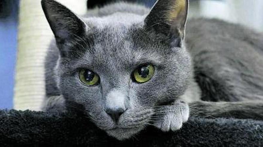 Mi gato Rus tiene fus