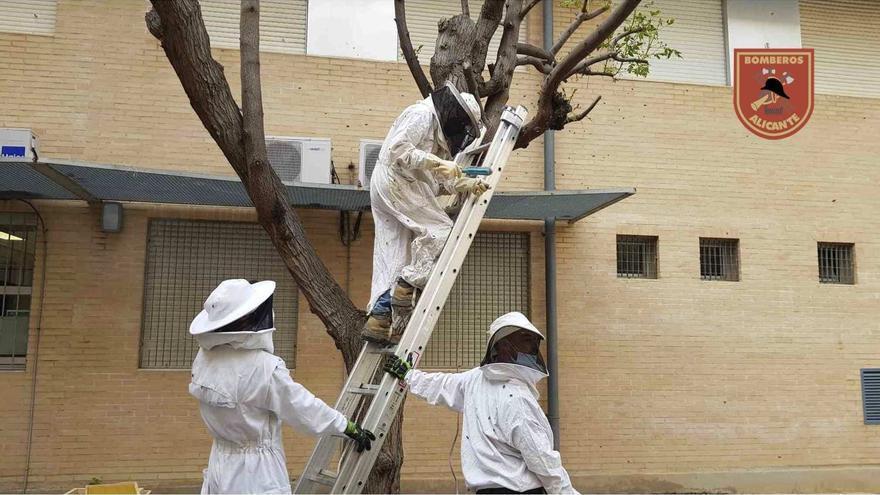 Retiran una colmena y cuatro enjambres de abejas en el IES Gran Vía en Alicant