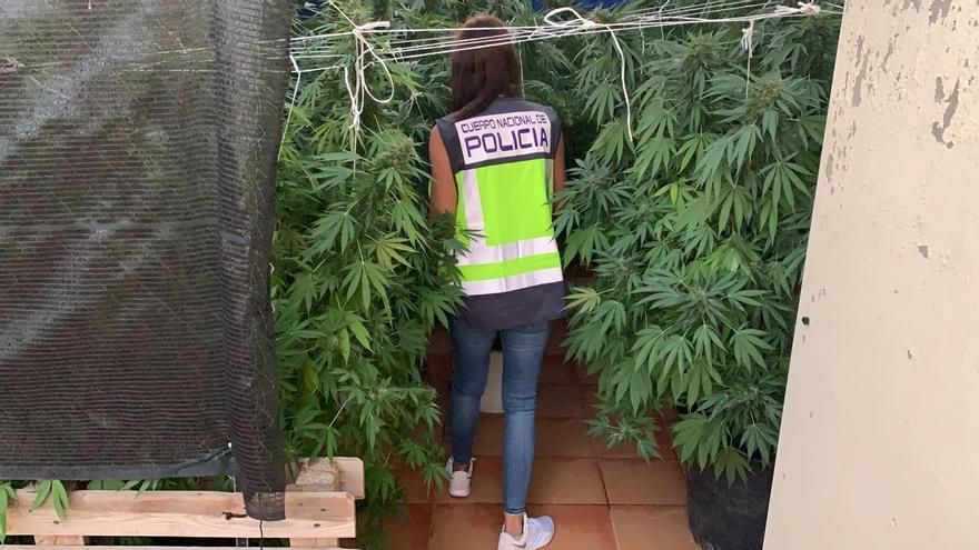 Intervenidas 100 plantas de marihuana en un piso de Torrent