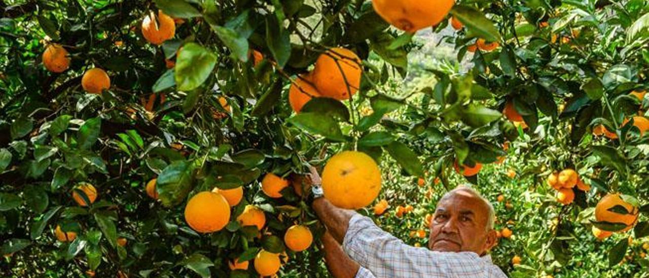 Tiempo de naranjas en Agaete