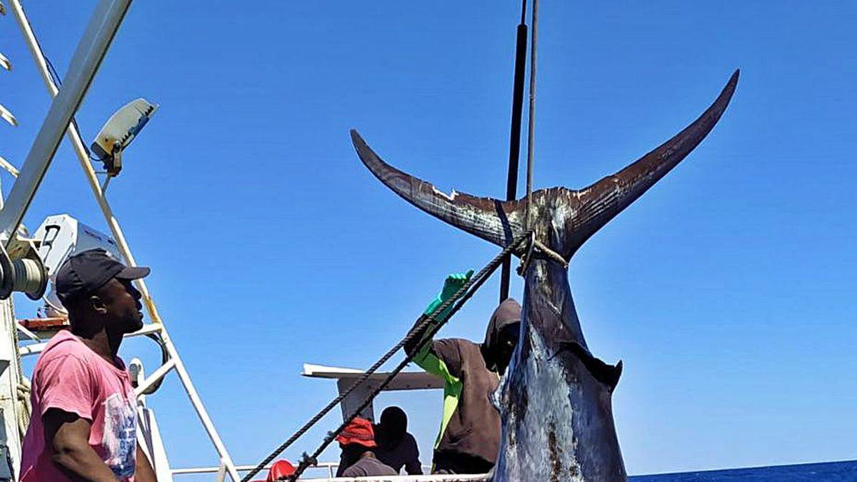 Un palangrero gallego capturando un pez espada en el Atlántico.