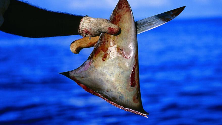 ¿Por qué no hay que comer sopa de aleta de tiburón?