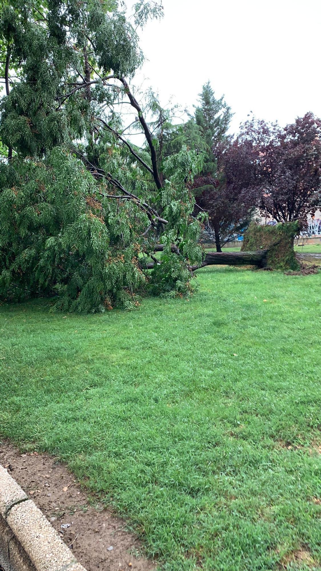 Un árbol caído tras la tormenta