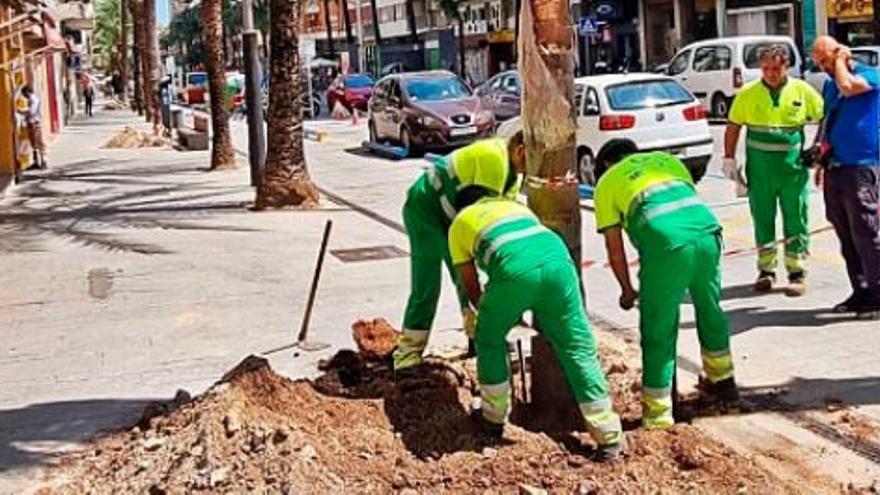 Gandia prueba las nuevas palmeras inmunes al picudo