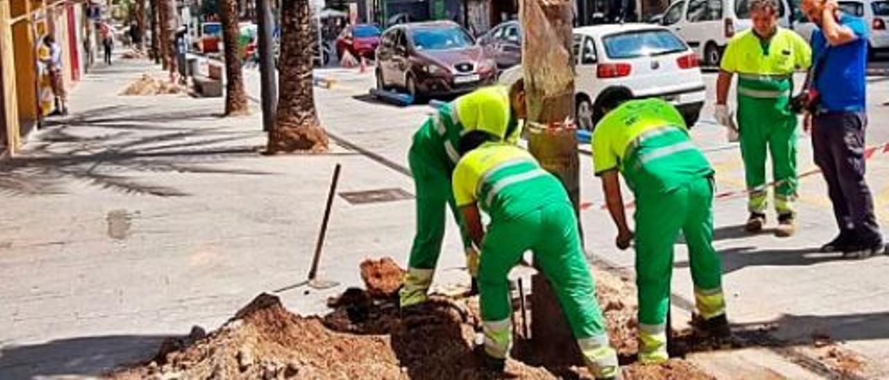 Operarios plantando una de las nuevas palmeras. | LEVANTE-EMV