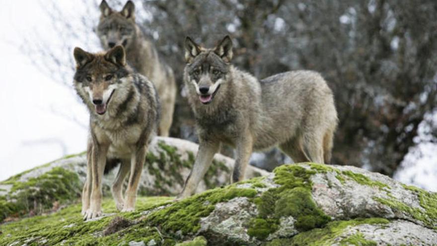 Rechazo frontal de IU a que el lobo goce en Asturias de protección especial