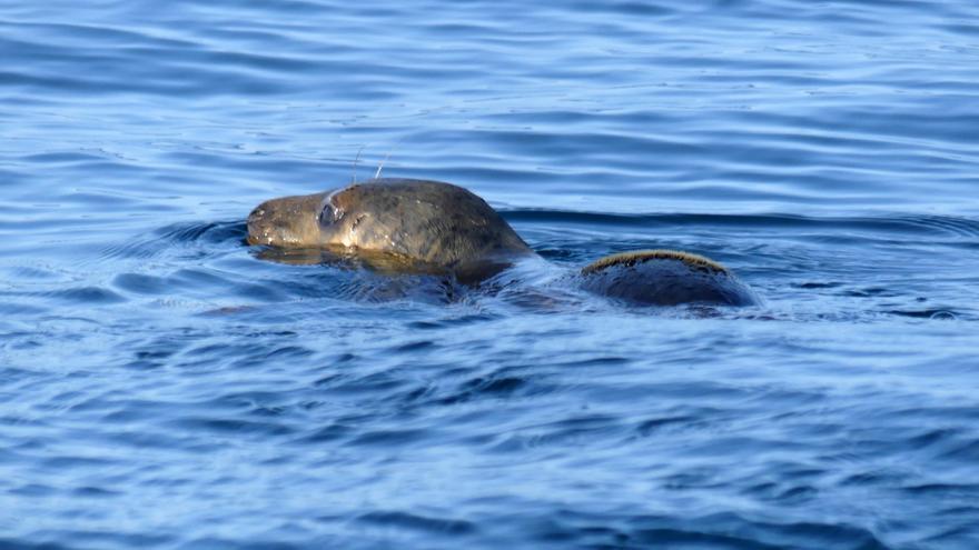 Liberadas dos crías de foca a siete millas de la costa asturiana, tras pasar dos meses recuperándose en tierra