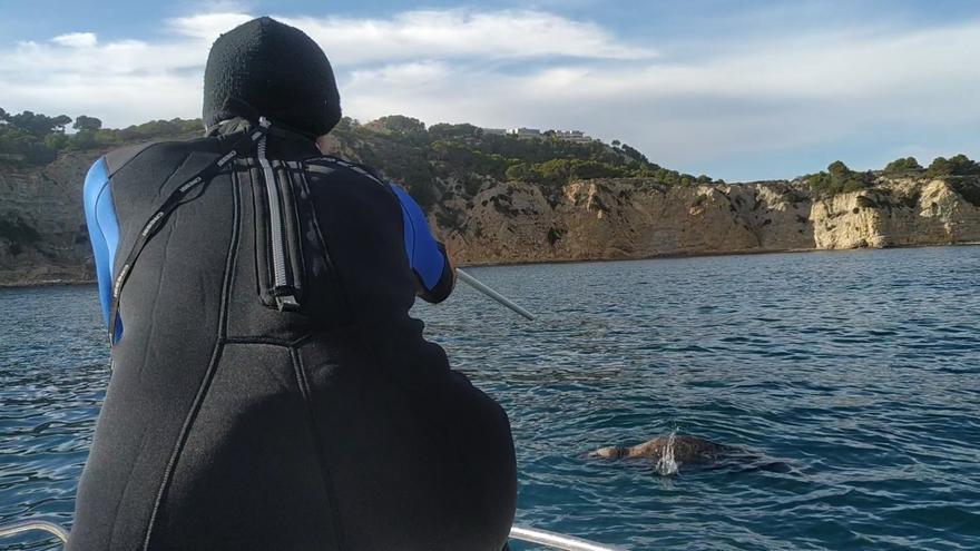 Inyectan con una cerbatana un antibiótico a la foca gris en el Portitxol de Xàbia