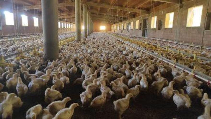 Las granjas de pollos de Aragón, en peligro por falta de rentabilidad