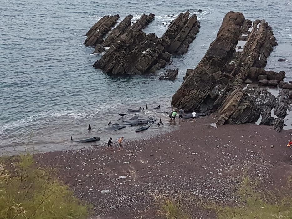 Expectación en Carreño por el varamiento de un grupo de 17 cetáceos
