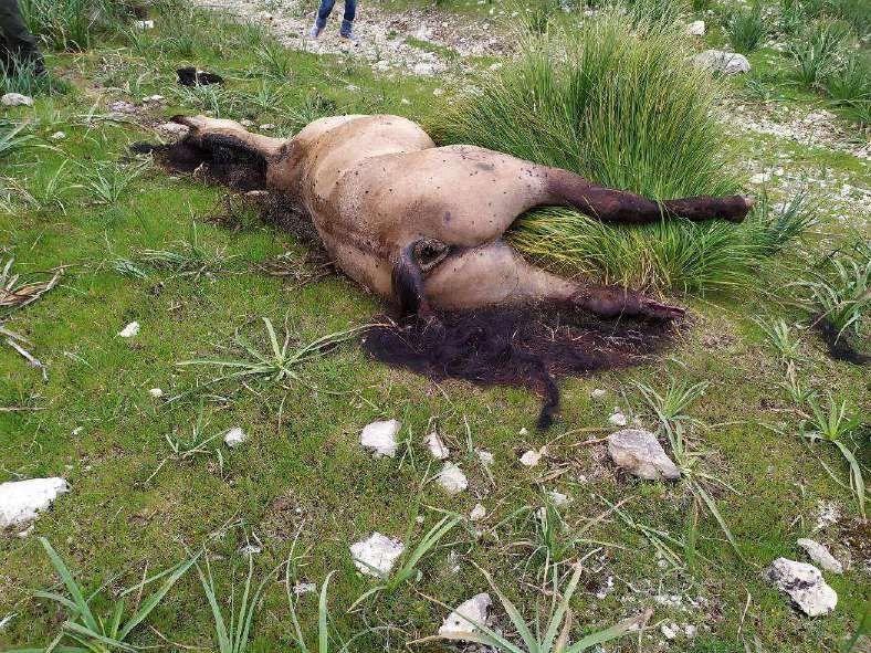 Imputado por matar a hachazos a un caballo en una finca en Pollença