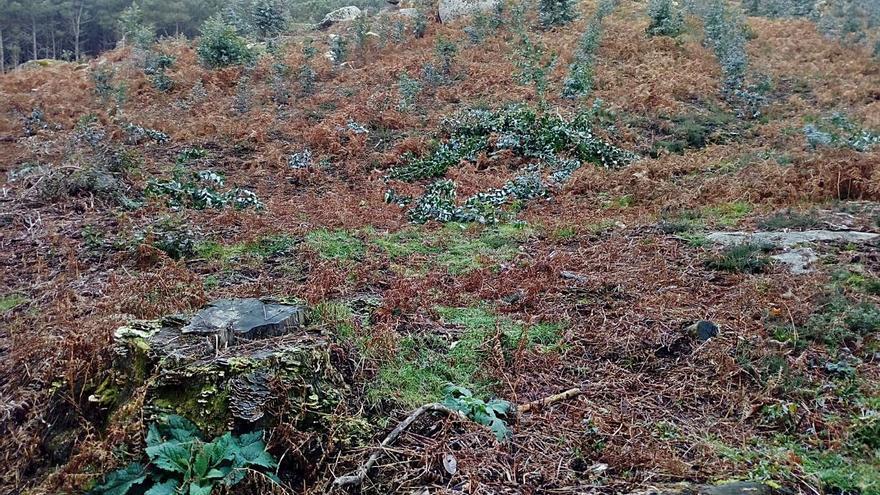 Destrozan una plantación de 140 eucaliptos en una parcela de los montes de Randufe