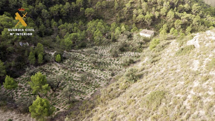 FOTOGALERÍA | Desmantelada en Fayón la tercera macroplantación de marihuana al aire libre en los últimos quince días en la provincia de Zaragoza