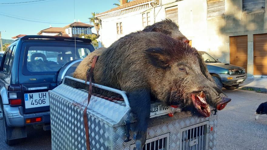 Cazan una jabalí de 160 kilos en Salas