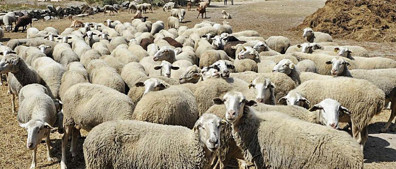 Un rebaño de ovejas en Cualedro (Ourense).     // BRAIS LORENZO