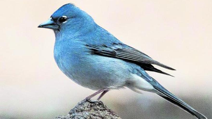 La avifauna canaria, única y amenazada