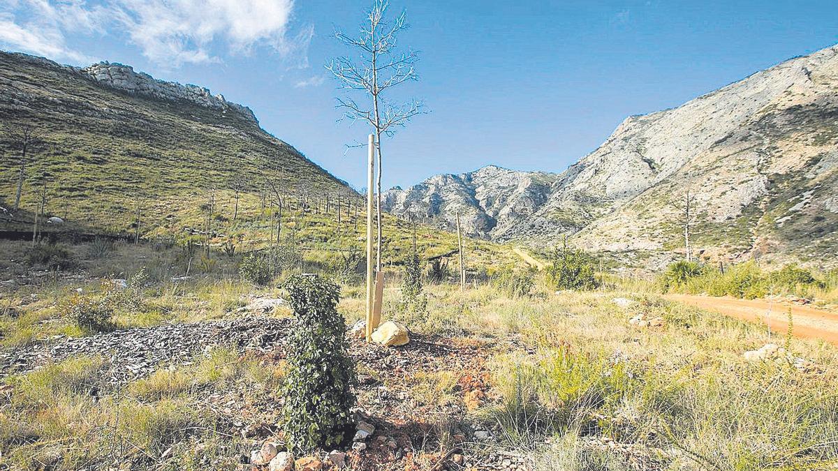 La naturaleza regresa a Marxuquera  dos años después del gran incendio