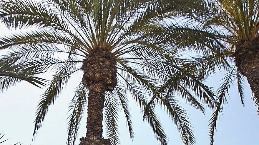 Poda de ocho mil palmeras para evitar caídas de peatones por los dátiles