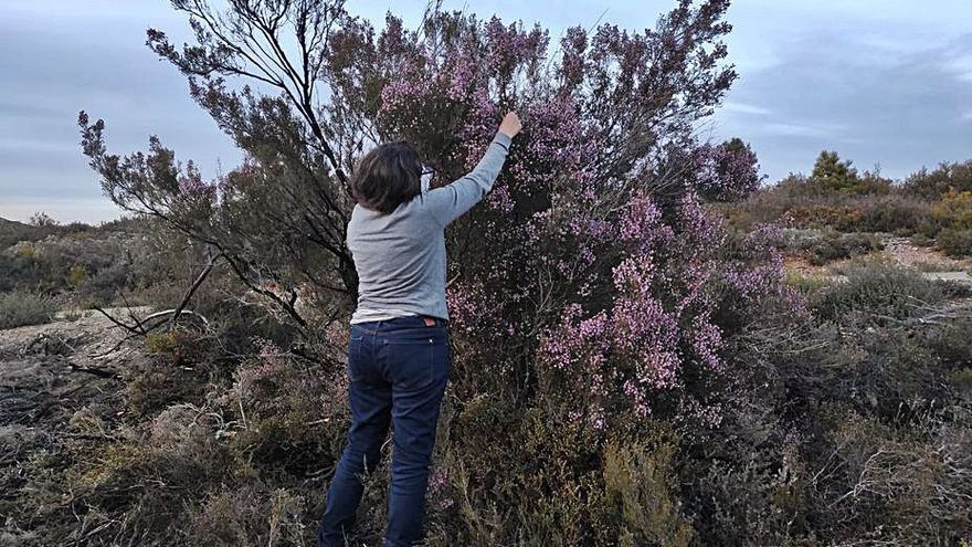 Castañicultores y apicultores de Robledo de Sanabria denuncian daños por labores de gradeo
