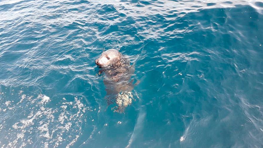 Liberan  a diez millas de la costa una cría de foca gris recogida en Llanes en febrero