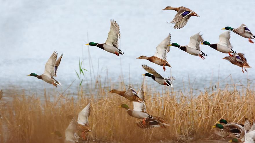 La función esencial que desempeñan los patos en la dispersión de semillas