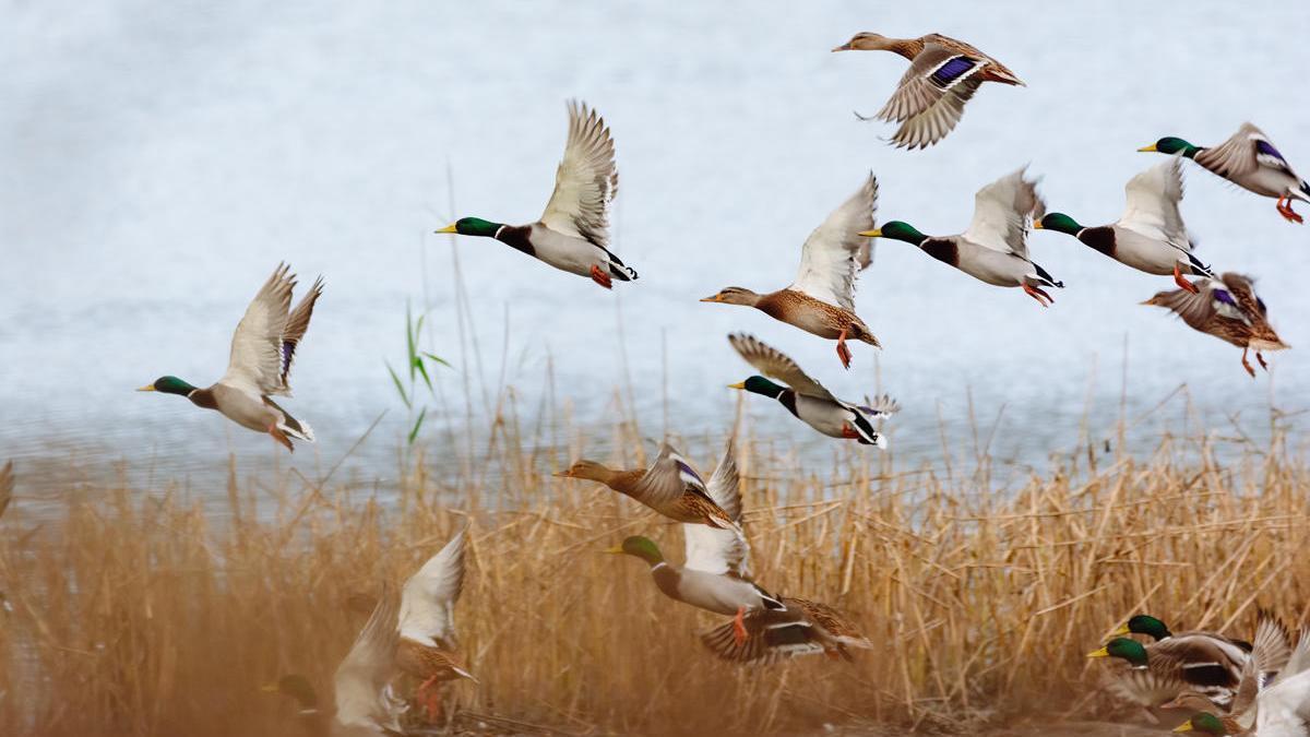 Era poco conocido que los patos y otras aves acuáticas ayudaran a la reproducción de plantas.