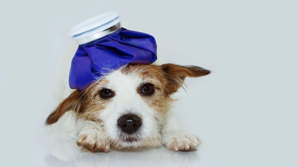 Esto es lo que debes hacer si tu perro tiene fiebre.