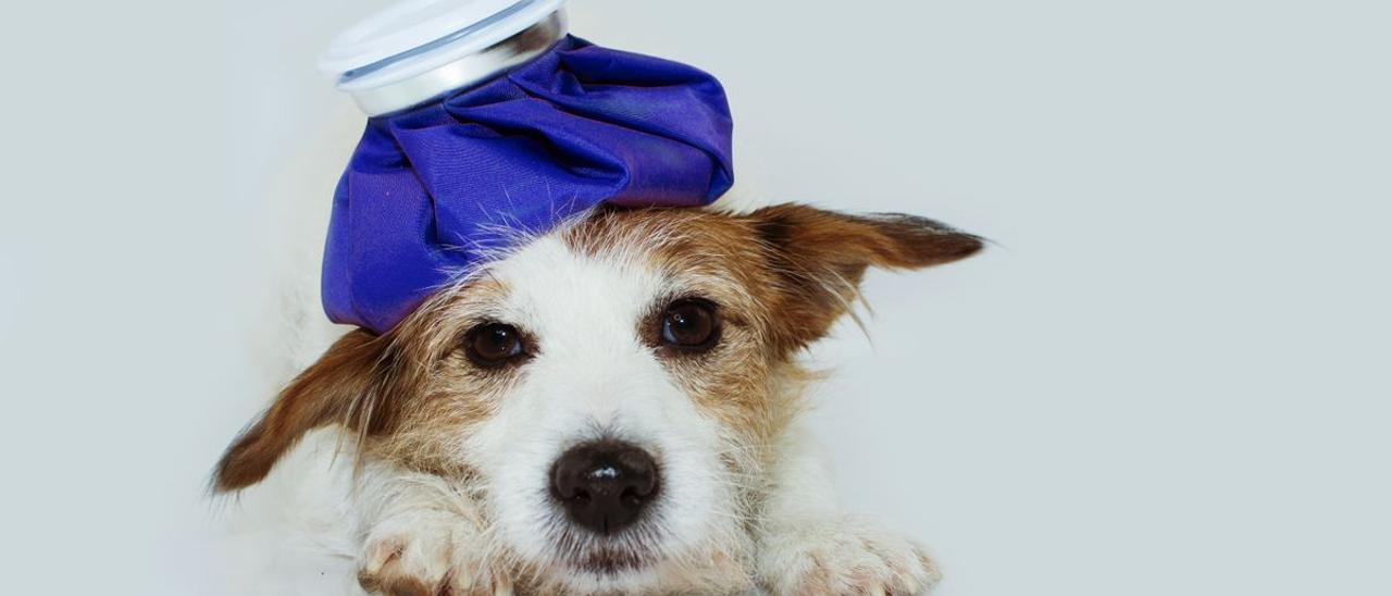 ¿Mi perro tiene fiebre? Todo lo que debes saber