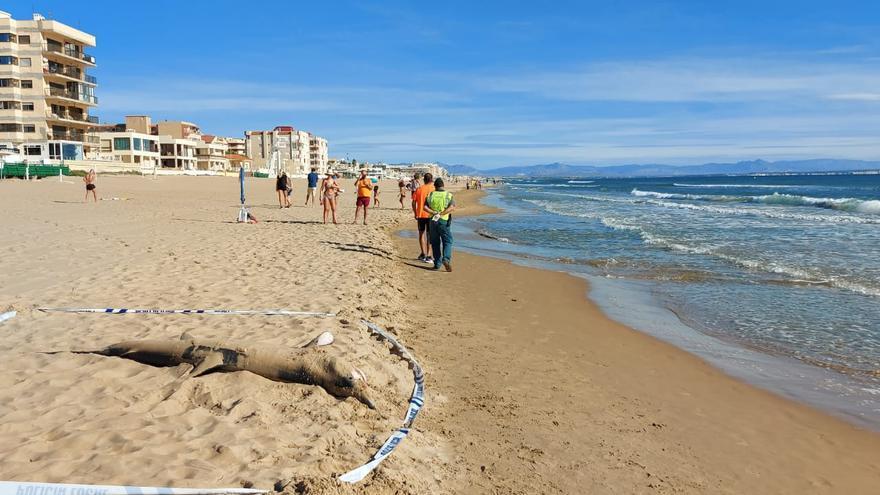 Aparece un ejemplar de tiburón tintorera varado en la playa de Guardamar