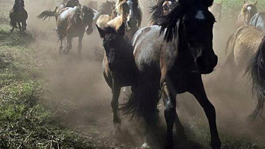 El mal estado del monte reduce a un tercio los caballos de la Rapa das Bestas