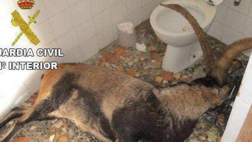 Intervienen en la captura irregular de varias cabras hispánicas en Catí