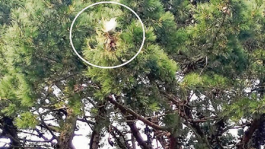 La procesionaria vuelve a atacar al pino municipal de la Rúa Pombal