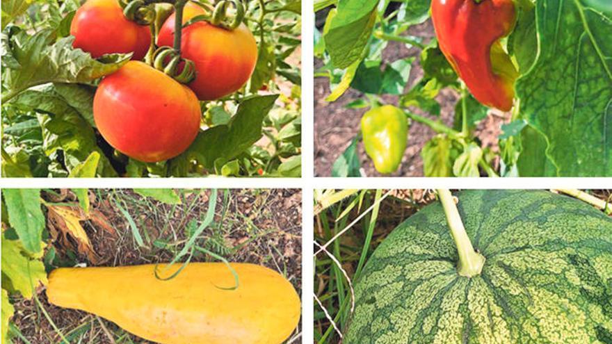 In Sóller werden Mallorcas alte Gemüsesorten neu aufgelegt