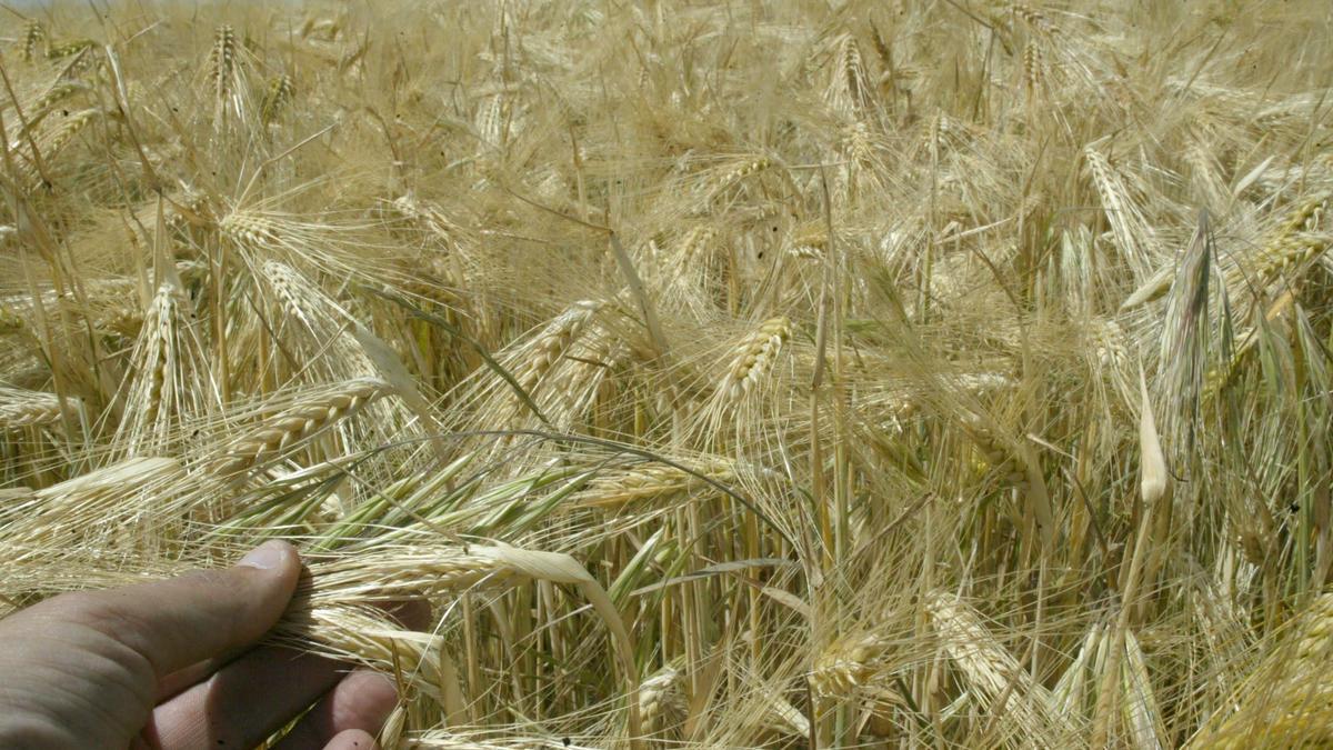 Un campo de cereal