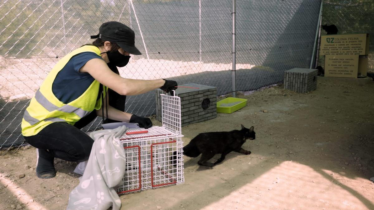 Traslado de los gatos de las colonias urbanas a El Guano.