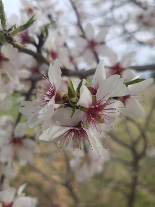 Flor. Aquests dies ja s'anuncia la primavera, i comencen a florir tots els arbres fruiters. En aquesta imatge veiem la flor d'un ametller dels voltants de Collbaix.