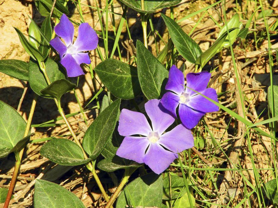 Morat. Planta de flors vistoses, anomenada popularment herba donzella o viola de bruixa, a          la vora d'un camí molt a prop del riu Llobregat al barri del Burés. D'aquesta planta s'extreu un alcaloide, la vincamina, usat en medicina, però la planta com a tal és tòxica.