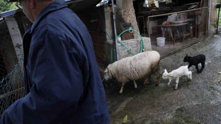 Una oveja carranzana pare en Lavandera dos borregos, uno blanco y uno negro