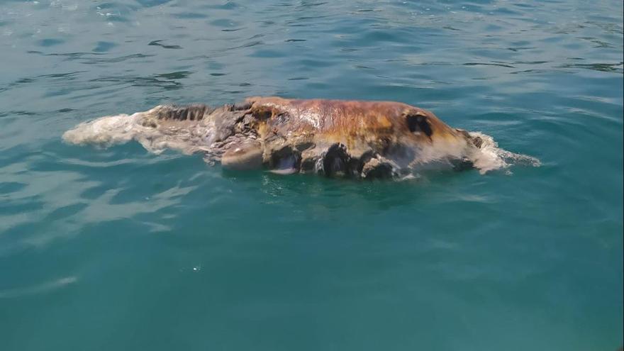 Hallado el segundo delfín muerto en una semana en las playas de Castellón