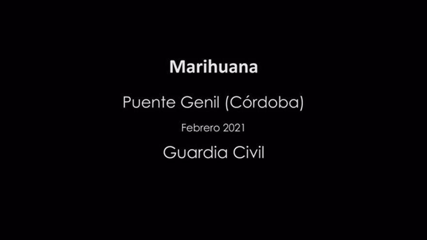 La Guardia Civil desmantela una plantación de marihuana en Puente Genil