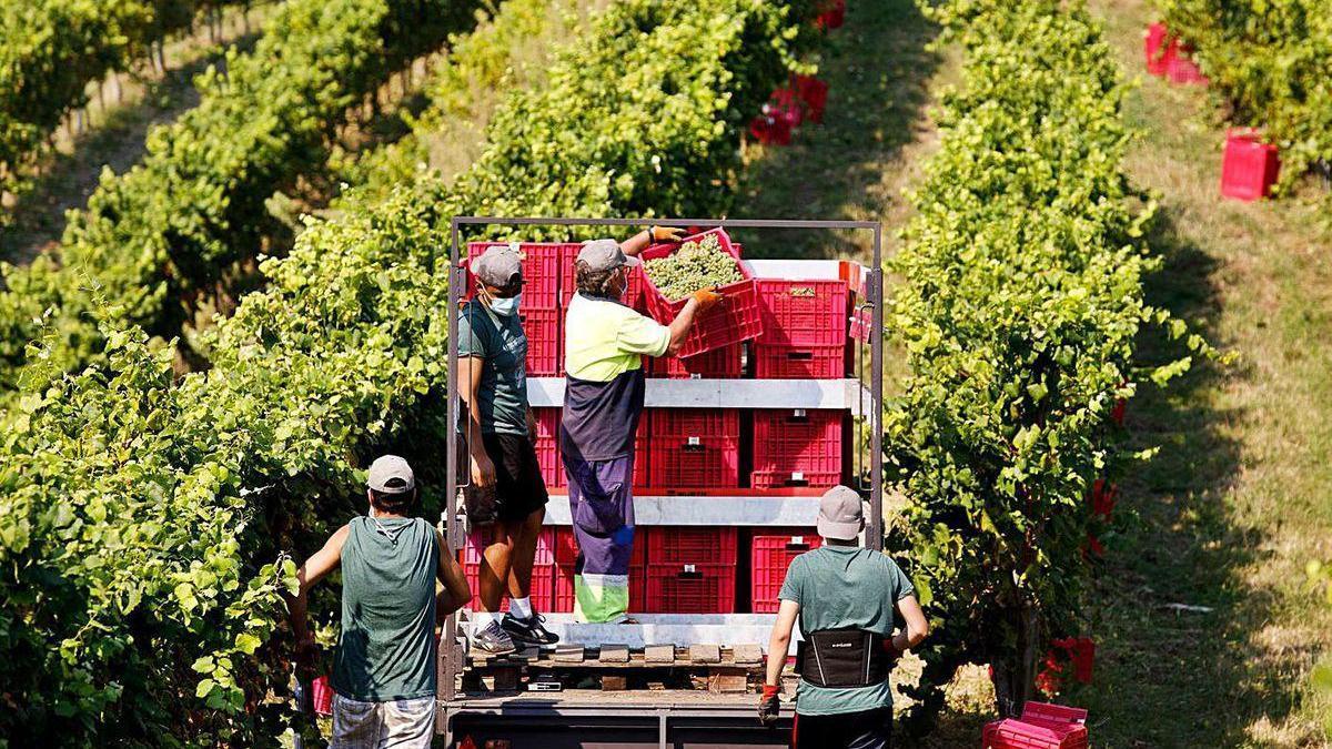 Vendimia 2020 en las viñas de Tomiño, pertenecientes a la subzona de O Rosal (D.O. Rías Baixas).