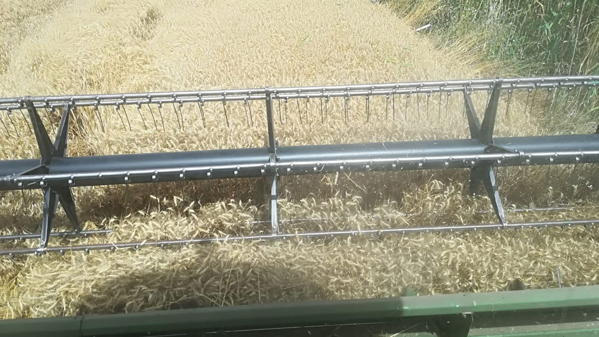 Cosechadora trabaja en un campo de trigo.