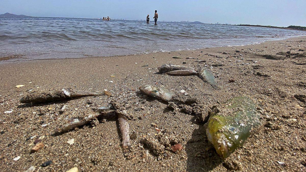 Peces muertos en el Mar Menor en agosto.