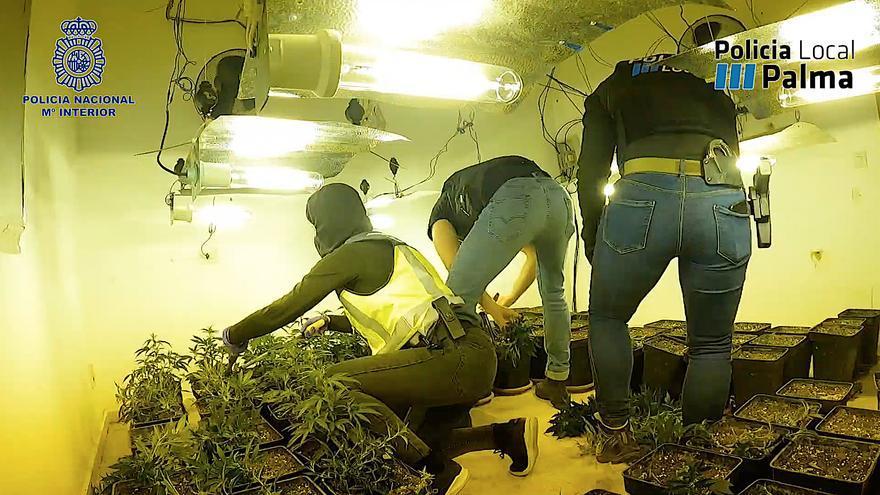 Así desmantelan varios puntos de venta de marihuana en Virgen de Lluc, en Palma