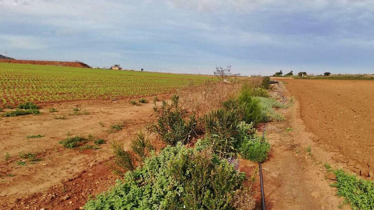 Barrera vegetal en unos cultivos del Campo de Cartagena.