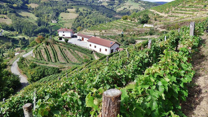 Cangas del Narcea impulsa la Ruta de las Viñas, que da continuidad al Paseo del Vino